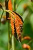 Orange rust, a form of fungus