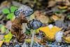 Shagging Mane mushrooms turning inky
