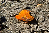 Orange bracket or shelf fungus
