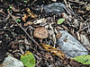 D242-2013  Gilled mushrooms, unidentified.<br /> <br /> The Benedict Hosta Hillside, Hidden Lake Gardens, Michigan<br /> August 30, 2013