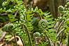 D110-2012 ferns type C (one of four types)<br /> Heathdale area<br /> <br /> Nichols Arboretum, Ann Arbor, Michigan<br /> April 20, 2012<br /> (nex5n)