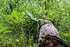 D183-2013 Plenty of ferns grow in this wetlands area.<br /> .<br /> Kensington Metropark, Michigan<br /> July 2, 2013
