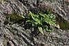 Rock Garden.<br /> Fern, moss, lichen on a boulder.<br /> <br /> Hosta Hillside, Hidden Lake Gardens<br /> Lenawee County, Michigan<br /> October 5, 2011