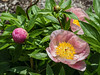 Bed 20 Roselette (row 2 column 3)<br /> D141-2014<br /> The first of the herbaceous peonies to bloom<br /> This cultivar was not identified in earlier bed maps, but was in the printed photo map for the 2014 season.<br /> Bed 20 has now, as of spring 2015, been dug up, to be replanted in Fall 2014.  Many of the plants in the four dug up beds (14, 17, 20, and 23) have been moved to other beds, replacing redundant plants or filling in empty plant sites.  I don't yet know where Roselette has been move to.<br /> <br /> Nichols Arboretum Peony Garden, Ann Arbor<br /> May 21, 2014