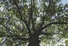 Arms of oak<br /> <br /> Mature oak in Oak Grove Cemetery, Chelsea, MI
