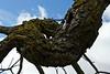 Black Walnut (Juglans nigra)<br /> Family  Juglandaceae  Distribution  eastern North America, primarily in riparian zones or wetlands.<br /> <br /> Maple section of the Arboretum Area<br /> Hiddlen Lake Gardens, Michigan<br /> April 5, 2012<br /> (nex-5)