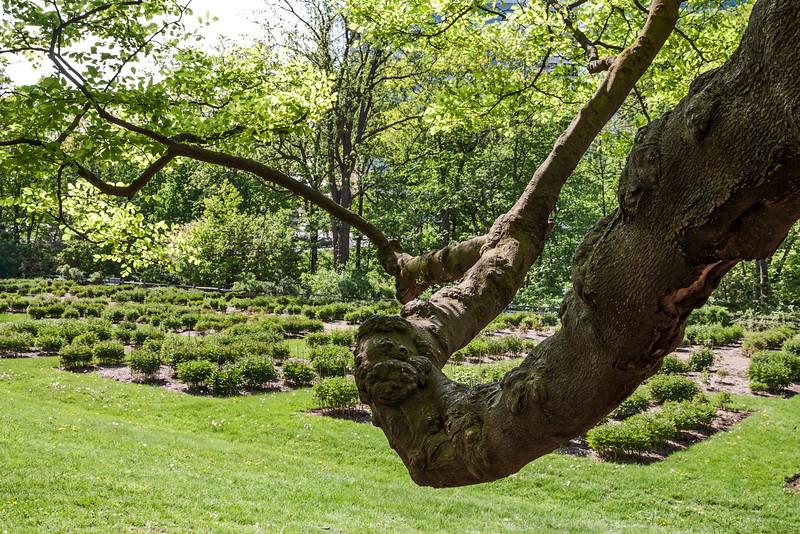 D137-2013  Yellowwood limb stretching out towards the peony garden.<br /> .<br /> Nichols Arboretum, Ann Arbor, Michigan<br /> May 17, 2013