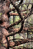 Larch tree limbs.<br /> <br /> April, 2010.