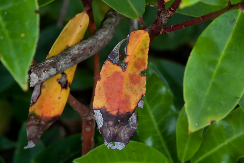 Was it all the trauma from attack by insects and/or disease that led to the early color change in these leaves?