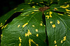Mottled Mayapple foliage