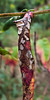 Calico #2<br /> <br /> Dying, dead, decaying sumac leaves.  The colors, and the revealed webs and veins, fascinated me.