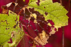 Wild grapes draped over euonymus.<br /> <br /> Treatment:  Accented edges to the grapevine.<br /> <br /> Parking lot of the Child Care Center for Saint Joseph's Hospital campus,<br /> Ypsilanti, Michigan<br /> September 29, 2011
