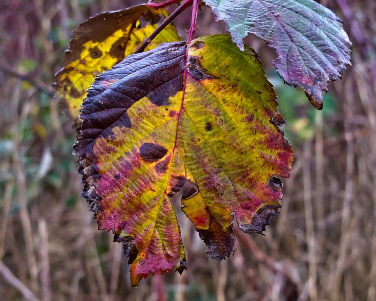 December blackberry leaves.<br /> <br /> Eugene, Oregon,<br /> December 2010