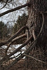 Lower limbs of a larch, reaching out like arms to embrace you as you approach.<br /> <br /> February 1, 2010