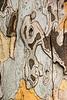 Sycamore bark detail