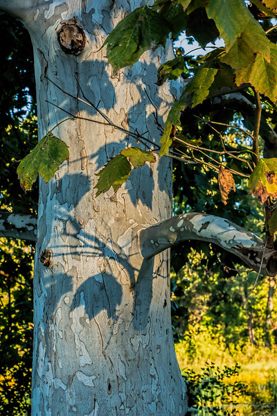 Morning shadows on sycamore tree trunk