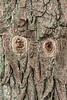 Wookpecker holes in sassafras trunk