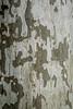 Bark detail, sycamore tree