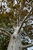 Trunk and limb detail, sycamore