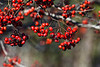 D318-2013  Hawthorn berries<br /> <br /> Matthaei Botanical Gardens, Ann Arbor, Michigan<br /> November 14, 2013
