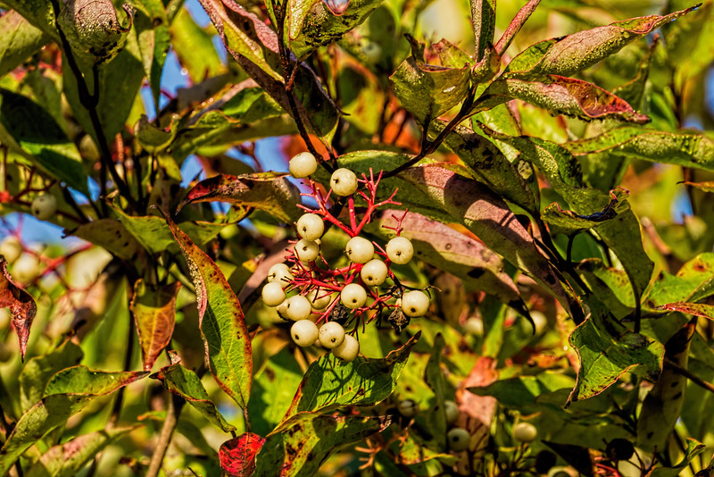 Dogwood berries - tapioca like