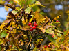 D277-2012 Hawthorn berries<br /> .<br /> Toledo Botanical Garden, Ohio<br /> October 4, 2012