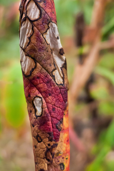 Calico #3.<br /> <br /> Dead, dying, drying, withered sumac leaves.