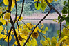 Looking across Hidden Lake through a screen of cottonwood limbs and leaves.<br /> <br /> Hosta Hillside, Hidden Lake Gardens,<br /> Lenawee County Michigan.