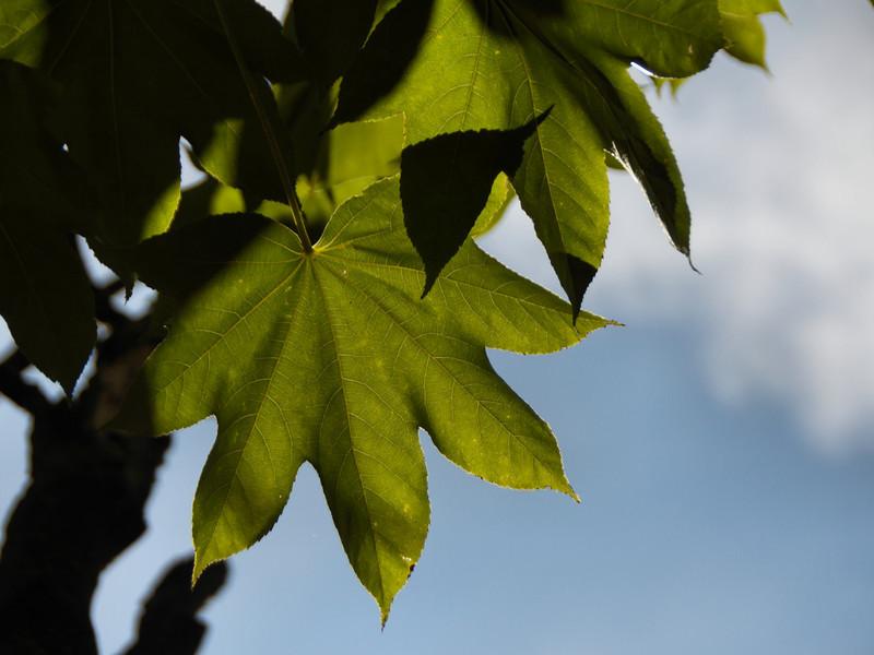 Leaf detail, castor aralia tree.<br /> <br /> October, 2010.