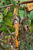 Calico #5.<br /> <br /> Dead, dying, drying, withered sumac leaves.<br /> Sumac leaves have a tendency to curl around their length, though not exactly around the main leaf vein, as shown here.