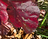 Cherry red oak leaves, not a common sight.<br /> <br /> October 28, 2011<br /> Hidden Lake Gardens, Kettlehole Trail.