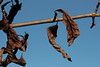 Death throes.<br /> <br /> Leaves curled and contorted, but still hanging on.
