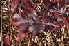 Cherry red oak leaves, not a common sight.<br /> This oak sapling confuses me.  Its lobes are not deeply cut and are essentially rounded.  Yet all around the leaf margin are sharp, distinct, albeit small bristles.  Usually the two features don't go together.<br /> <br /> If you're interested in such things, there is a weath of tiny detail to be seen in the leaf venation if you zoom way in.<br /> <br /> October 28, 2011<br /> Hidden Lake Gardens, Kettlehole Trail.