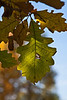 Leaves of some species of white oak in early autumn.<br /> <br /> October 7, 2011