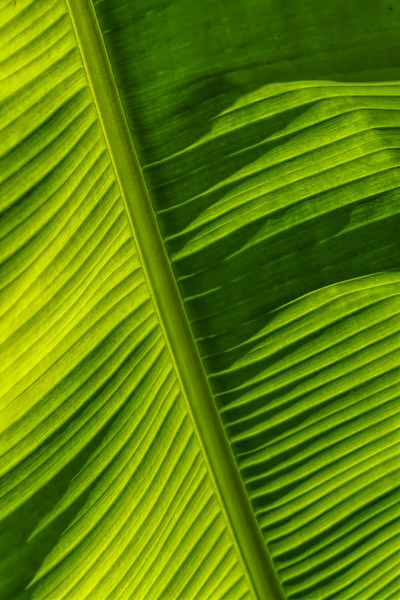 Detail of banana plant leaf