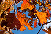 Autumn palette;  oak leaves against a bright blue sky.<br /> <br /> October 28, 2011<br /> Hidden Lake Gardens