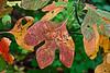 Leaf portrait:  Sassafras 7<br /> <br /> Hidden Lake Gardens, Lenawee County, Michigan<br /> September 27, 2011