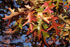Gaining fall color - oak leaves