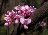 Redbud blossoms fully opened.<br /> <br /> May 2, 2009<br /> NW Ohio