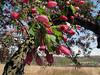 Apple blossom time.<br /> <br /> May 3, 2009<br /> Bordering Dow Prairie, Nichols Arboretum, Ann Arbor, Michigan