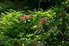 D156-2011 Mountain laurel in the Julie Norris Post Heathdale section of Nichols Arboretum.<br /> <br /> Nichols Arboretum<br /> June 5, 2011
