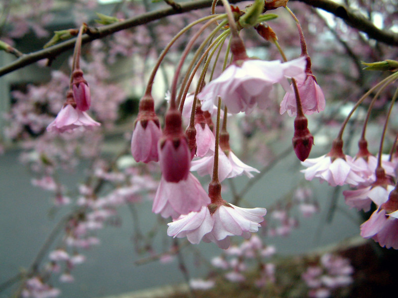 Blossoms on a weeping cherry tree.  Seen at Rogue River Oregon, Best Western 'Inn at the Rogue River', late March.