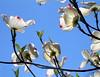 Dogwood blossoms, backlit.