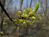 "Spicebush closeup.  (Lindera benzoin)<br /> <br /> Look closely and see the tiny spider lurking.  For a size perspective, each individual blossom is perhaps 1/8 - 1/4"" across.<br /> <br /> April 25, 2009<br /> Secor Park, NW Ohio"