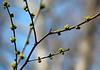 Spice bush in bloom