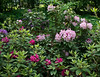 D156-2011 Rhododendrons<br /> <br /> Laurel Ridge Trail,<br /> Nichols Arboretum.