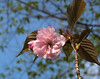 Ornamental Cherry blossom.<br /> <br /> May 2, 2009<br /> SE Michigan