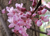 Redbud buds.  I love the mitten shapes they take on as they begin to open.<br /> <br /> May 2, 2009<br /> NW Ohio