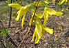 Forsythia...the essence of spring.<br /> <br /> April 27, 2009<br /> NW Ohio
