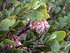 Blooming Salal ( Gaulthera shallon)<br /> <br /> March 2005<br /> Oregon coast range mountains<br /> <br /> Salal?